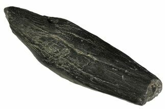 "4.9"" Fossil Sperm Whale (Scaldicetus) Tooth - South Carolina For Sale, #176150"
