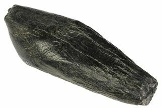 "3.9"" Fossil Sperm Whale (Scaldicetus) Tooth - South Carolina For Sale, #176168"