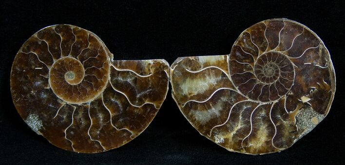 2 Inch Polished Ammonite (Pair)