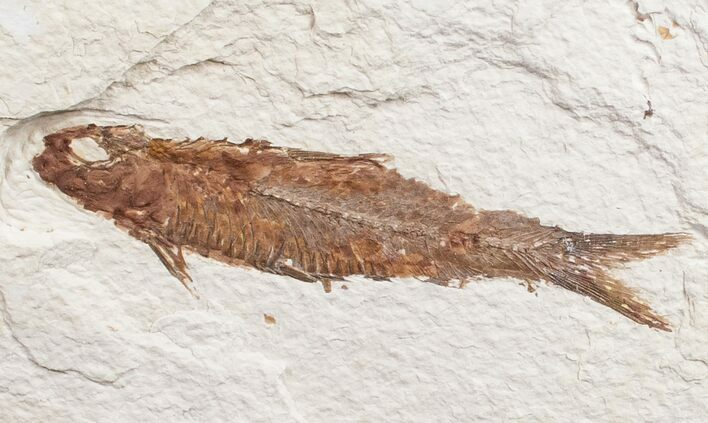 "3.3"" Knightia Fossil Fish - Wyoming"