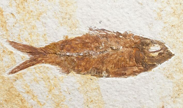 "3.5"" Knightia Fossil Fish - Wyoming"