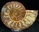 "Bargain 5.6"" Polished Ammonite Pair - #11787-3"