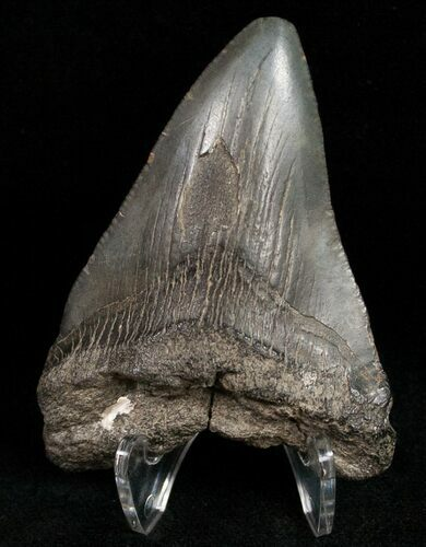 "Bargain 2.71"" Fossil Megalodon Tooth"