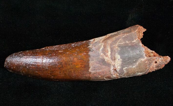 "Large, Quality 3.68"" Spinosaurus Tooth"
