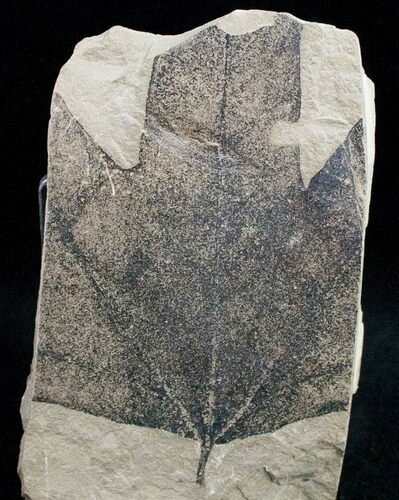 Partial Fossil Sycamore Leaf - Green River Formation