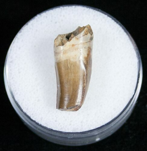 ".91"" Partial Tyrannosaurid Tooth - Montana"