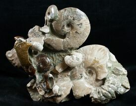 "Beautiful Polished Ammonite Cluster - 11 1/2"" Wide For Sale, #12104"