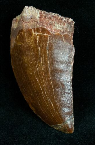 "1.68"" Carcharodontosaurus Tooth - A Real Gem"