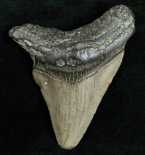 "Bargain 2.27"" Fossil Megalodon Tooth"