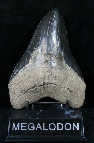 "Large, Black, 5 1/2"" Megalodon Tooth"
