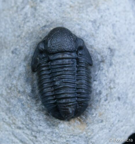 Small Gerastos Trilobite From Morocco
