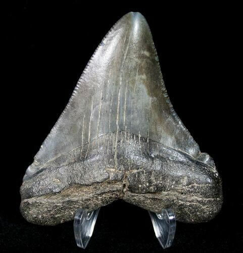 "2.84"" Megalodon Tooth - South Carolina"