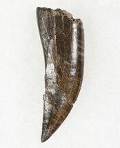 dinosaur teeth for sale fossileracom