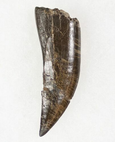 "Very Rare, 1.54"" Marshosaurus Tooth - Skull Creek"