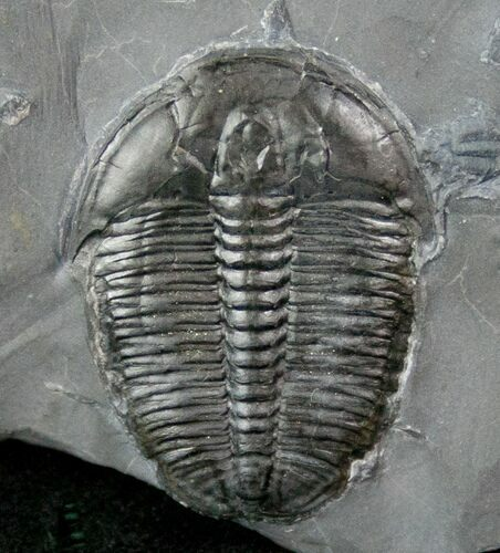 "1.18"" Elrathia Trilobite In Matrix - Utah"