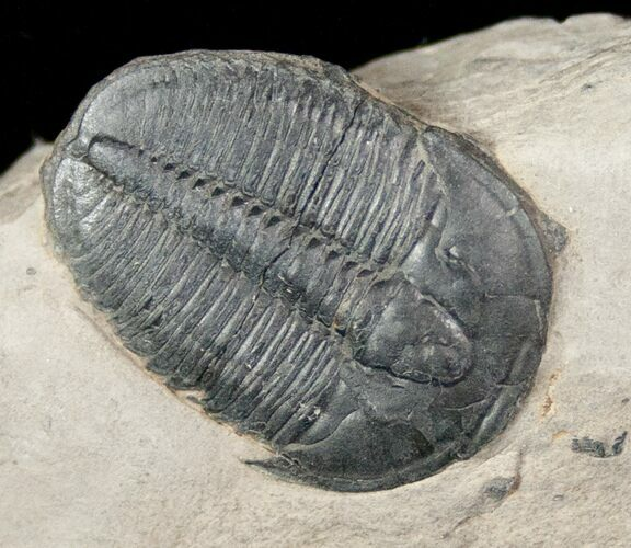 ".96"" Elrathia Trilobite In Matrix - Utah"