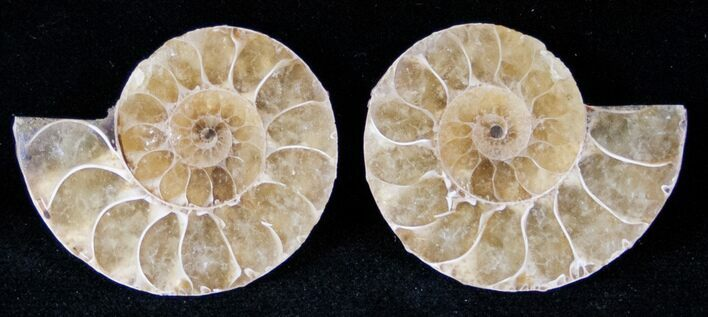 Small Desmoceras Ammonite Pair - 1.25""