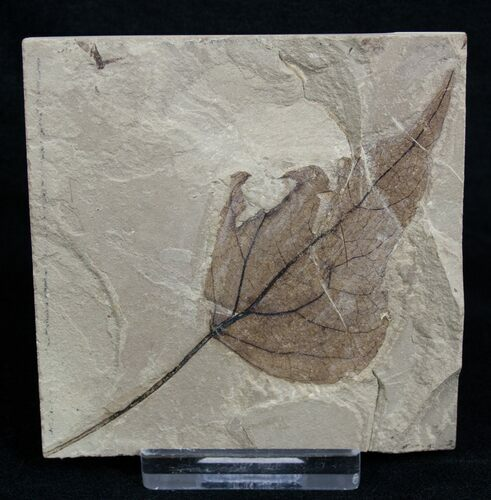Fossil Poplar Leaf - Green River Formation