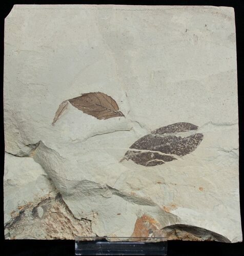 Two Fossil Leafs - Green River Formation