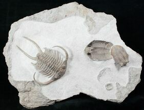 "Buy 4.9"" Paraceraurus Trilobite Association - Spectacular - #12946"