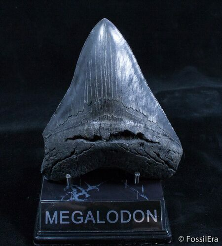5.11 Inch Georgia Megalodon Tooth - Great Serrations