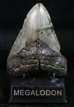 Carcharocles megalodon - Fossils For Sale - #13623