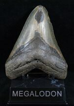 Carcharocles megalodon - Fossils For Sale - #13752