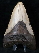 "Bargain 5.04"" Lower Megalodon Tooth - North Carolina For Sale, #13823"