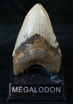 "Buy Bargain 5.05"" Megalodon Tooth - North Carolina - #13831"