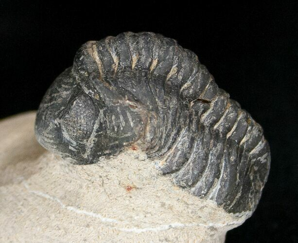 "Bargain Reedops Trilobite Fossil - 1.7"" Long"