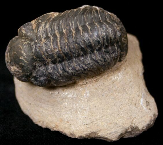 "Bargain Reedops Trilobite Fossil - 1.63"" Long"
