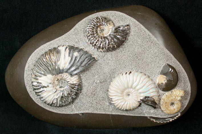 Killer Russian Ammonite (Deshayesites) Association