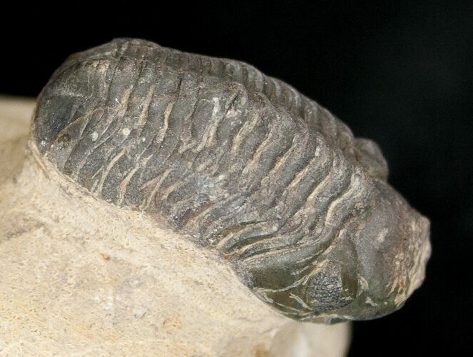 "Bargain Reedops Trilobite Fossil - 1.48"" Long"