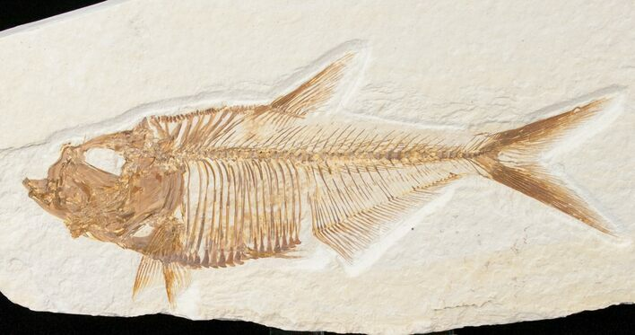 "Detailed 4.8"" Diplomystus Fish Fossil From Wyoming"