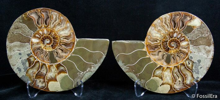 5.0 Inch Split Ammonite Pair