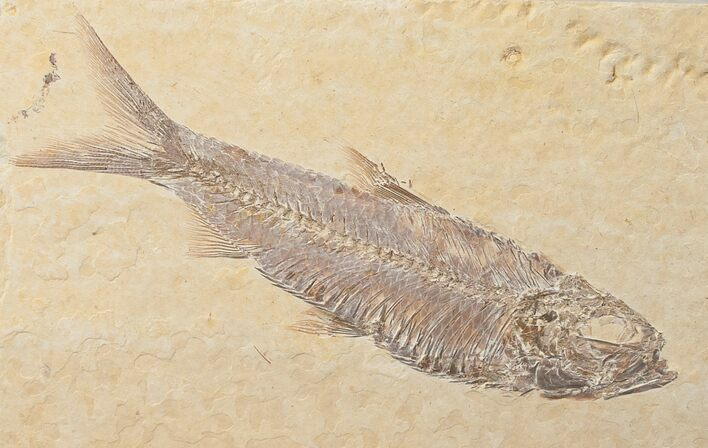 "3.4"" Knightia Fossil Fish - Wyoming"