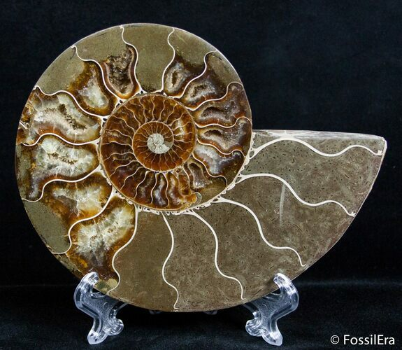 5.4 Inch Split Ammonite (Half)