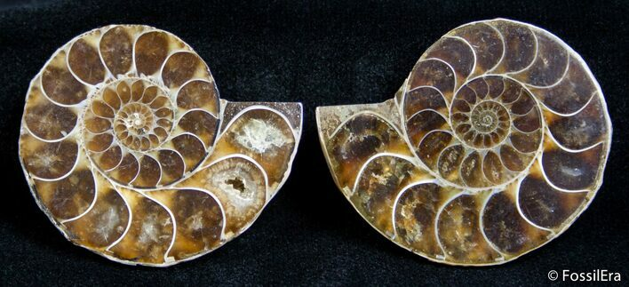 1.5 Inch Split Ammonite Pair