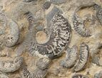 Plate of Pyritized Ammonites - Oujda, Morocco - #16114-1