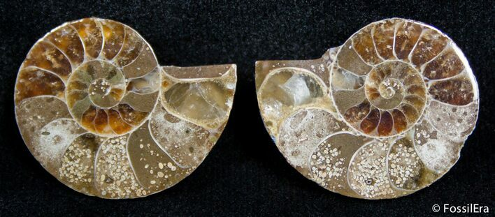 0.95 Inch Split Ammonite Pair