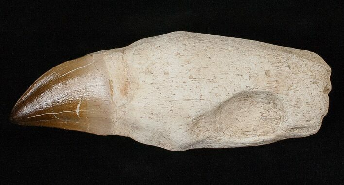 "5.23"" Rooted Mosasaur (Prognathodon) Tooth"