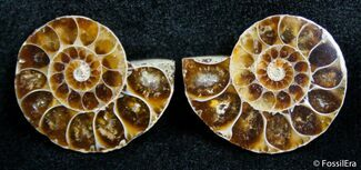 Buy Small Desmoceras Ammonite Pair - #2677