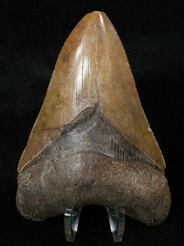 "Good Quality 4.26"" Megalodon Tooth - Serrated"