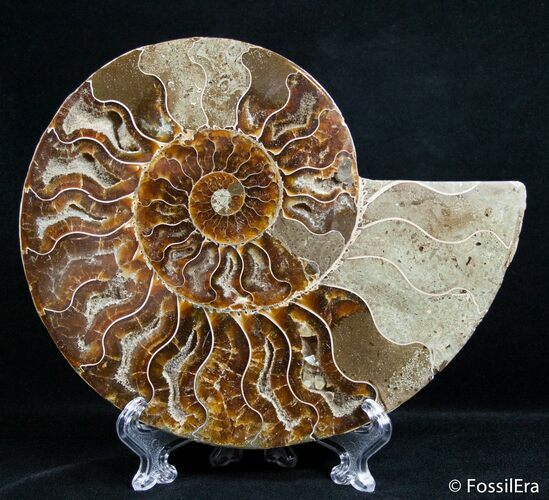 6.3 Inch Split Ammonite (Half)