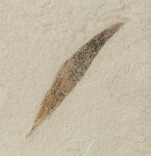 Fossil Willow Leaf - Green River Formation