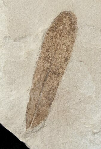 Fossil Caesalpinia Leaf - Green River Formation