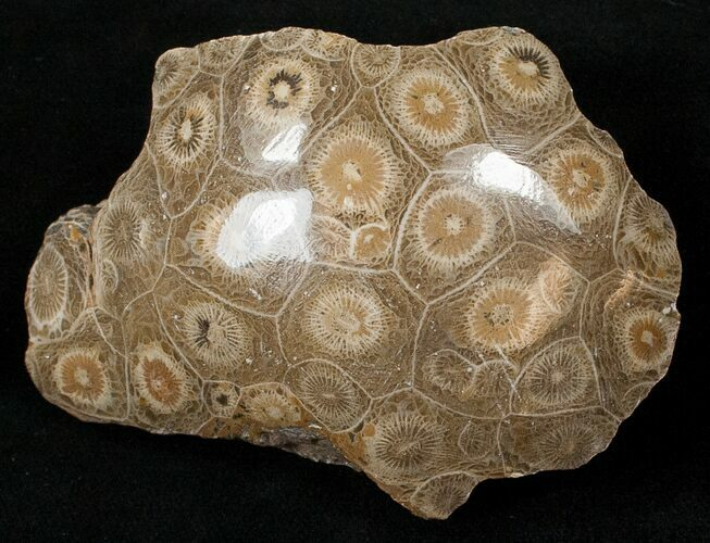 "3.2"" Polished Fossil Coral Head - Morocco"