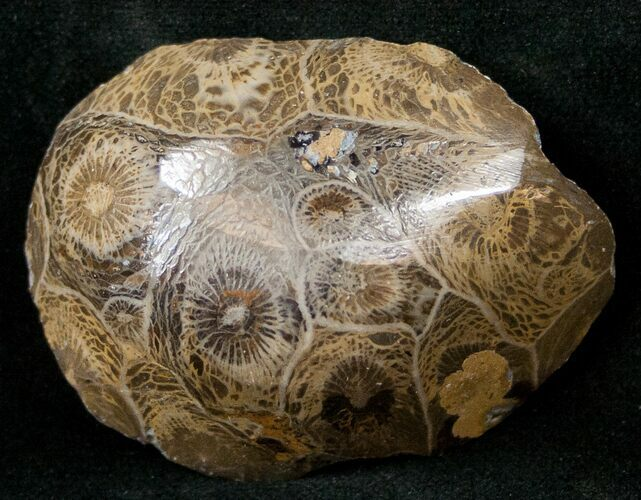 "1.9"" Polished Fossil Coral Head - Morocco"