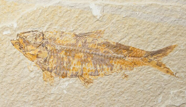"Bargain 4.6"" Knightia Fossil Fish - Wyoming"