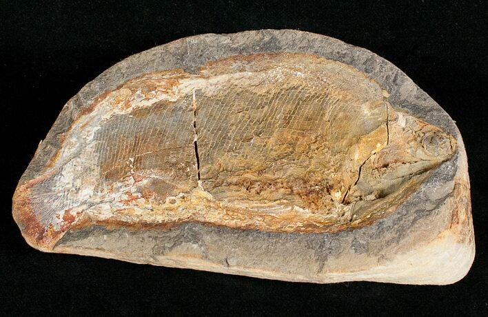 "4.7"" Pteronisculus Fossil Fish From Madagascar - Triassic"